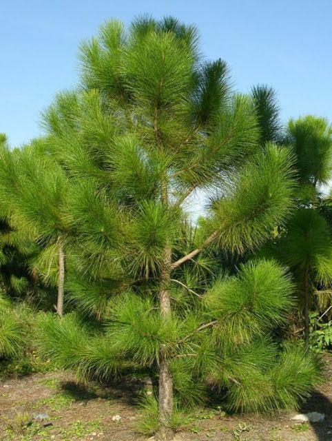 Qual Melhor Planta para Barrar o Vento? - Blog Multiflora