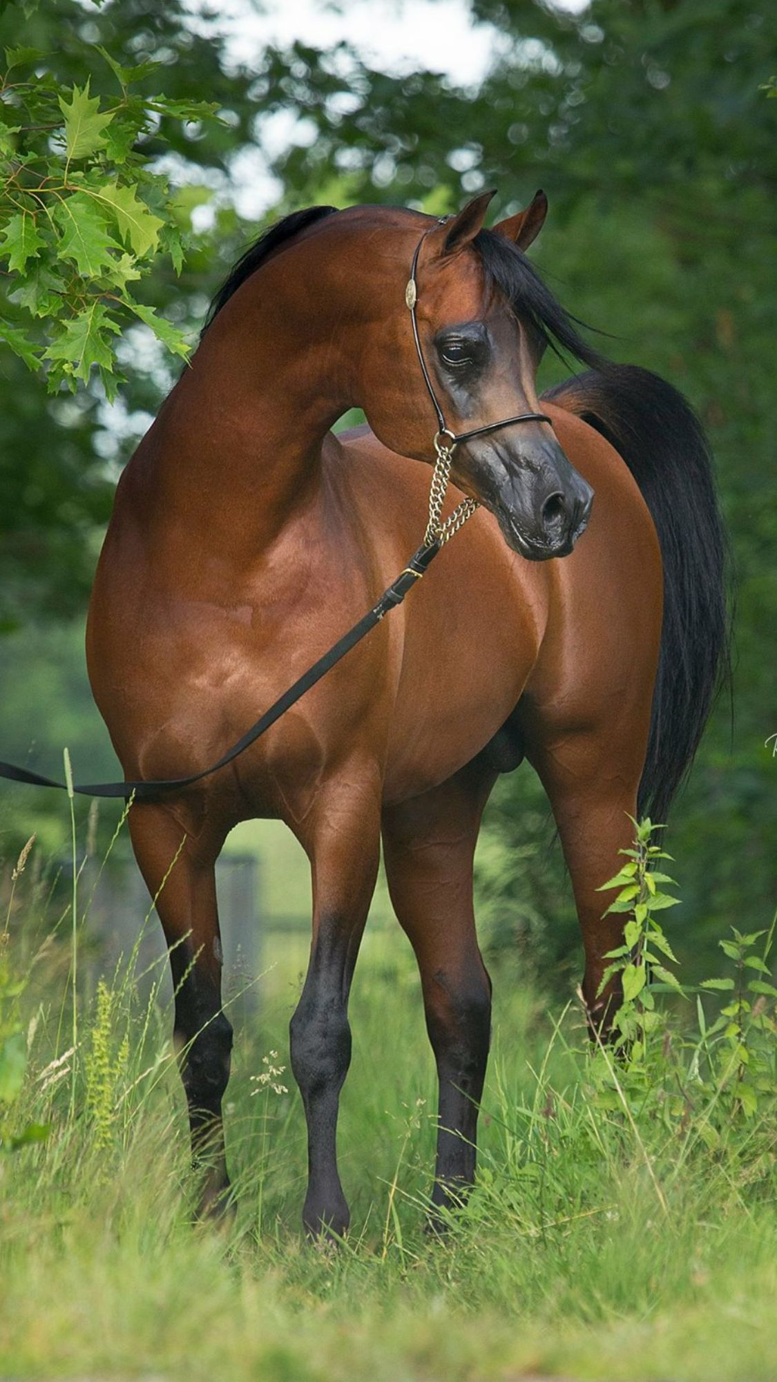 Beautiful Bay Arabian stallion.