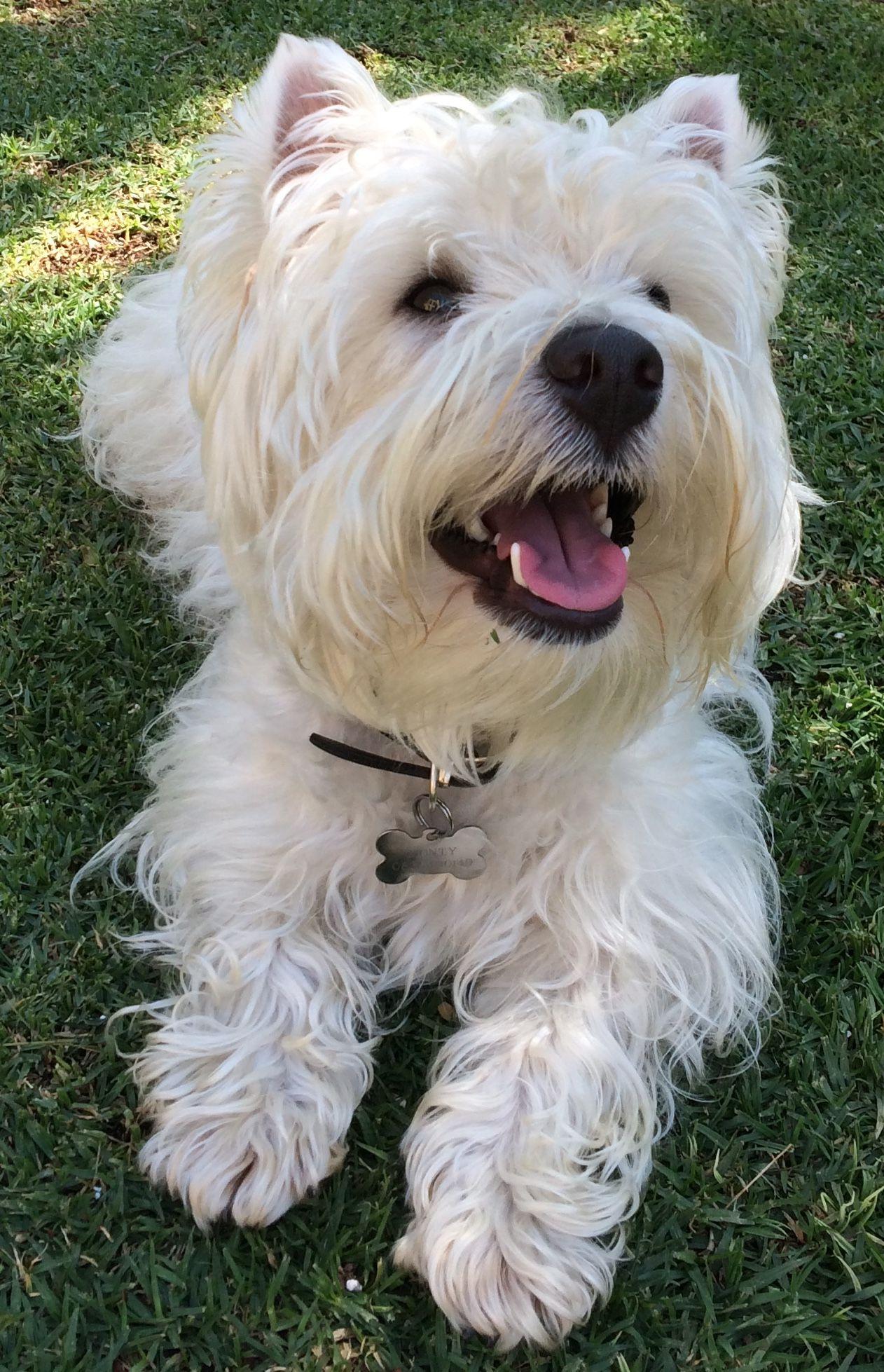 Westie Westies West Terrier White Dogs