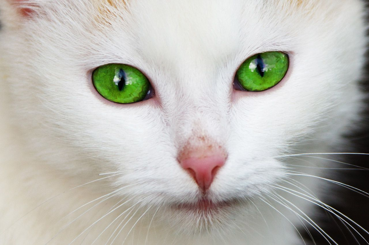 Cat With Green Eyes Free Stock Photo (With images) Cats
