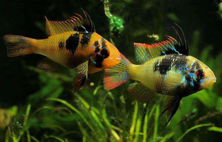 Rich kuehn german rams fr h at r fi h finatic for German ram fish