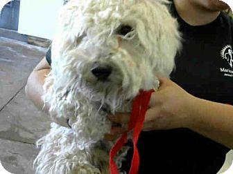 Mesa Az Maltese Toy Poodle Mix Meet Astro A Dog For Adoption