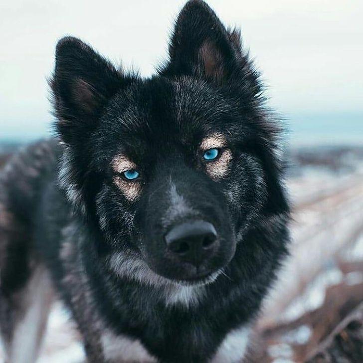 20 Animals Who Hit The Genetics Jackpot Black German Shepherd Shepherd Puppies Dogs