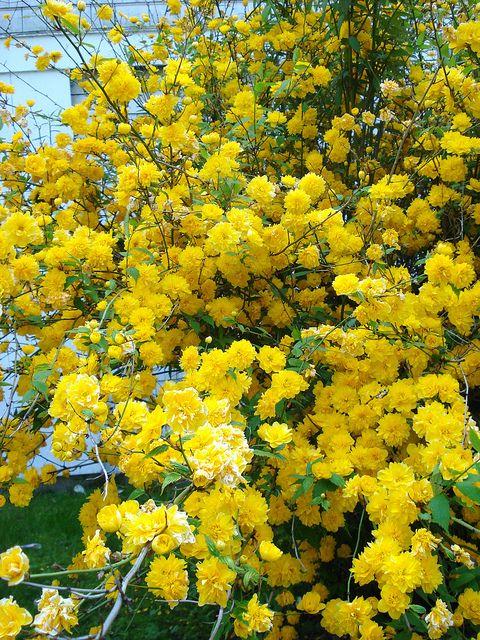 Japanese Rose Bush Yellow Plants Summer Plants Planting Flowers