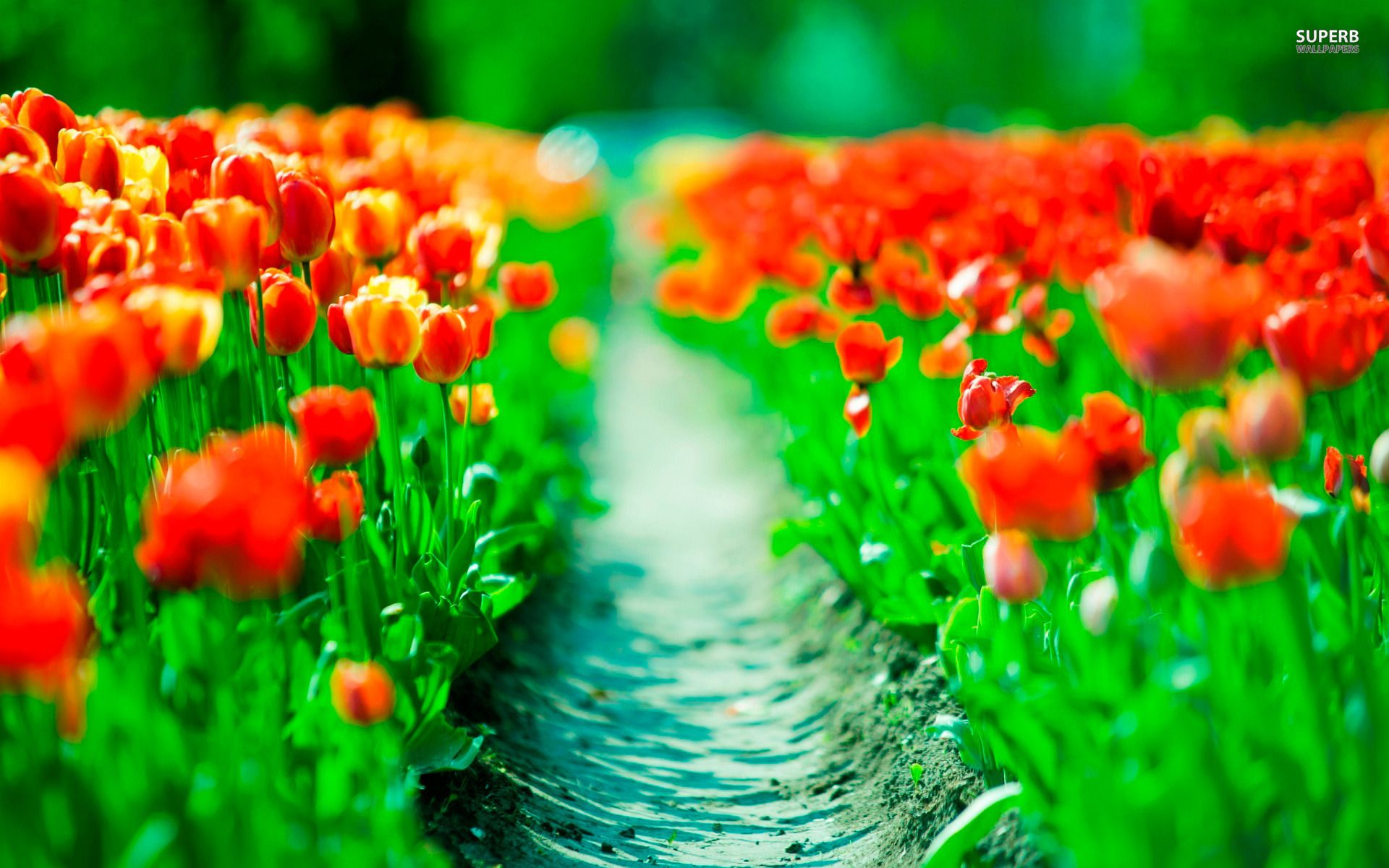 tulips wallpaper for ipad tulips wallpaper for ipad