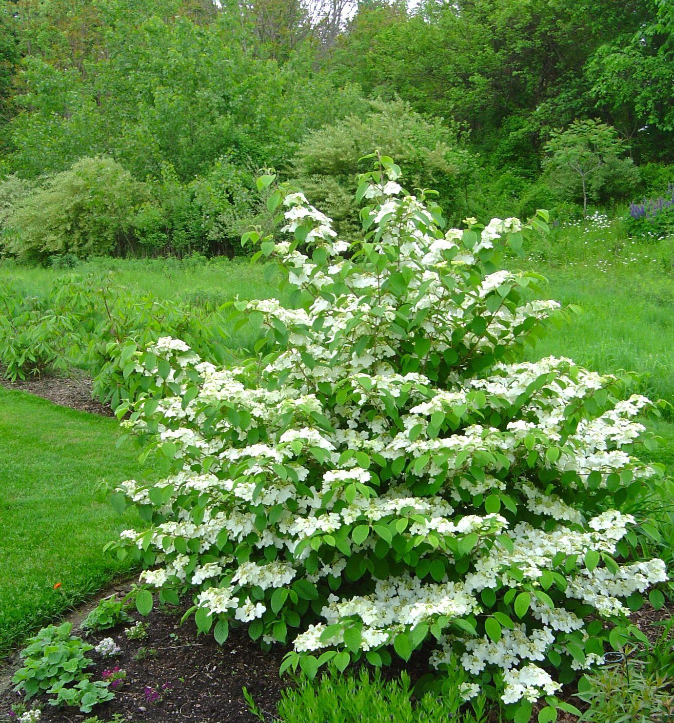 Viburnum Plicatum F Tomentosum Mariesii Hortensias