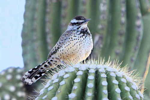 Arizona State Bird Cactus Wren Cactus Wren State Birds Birds