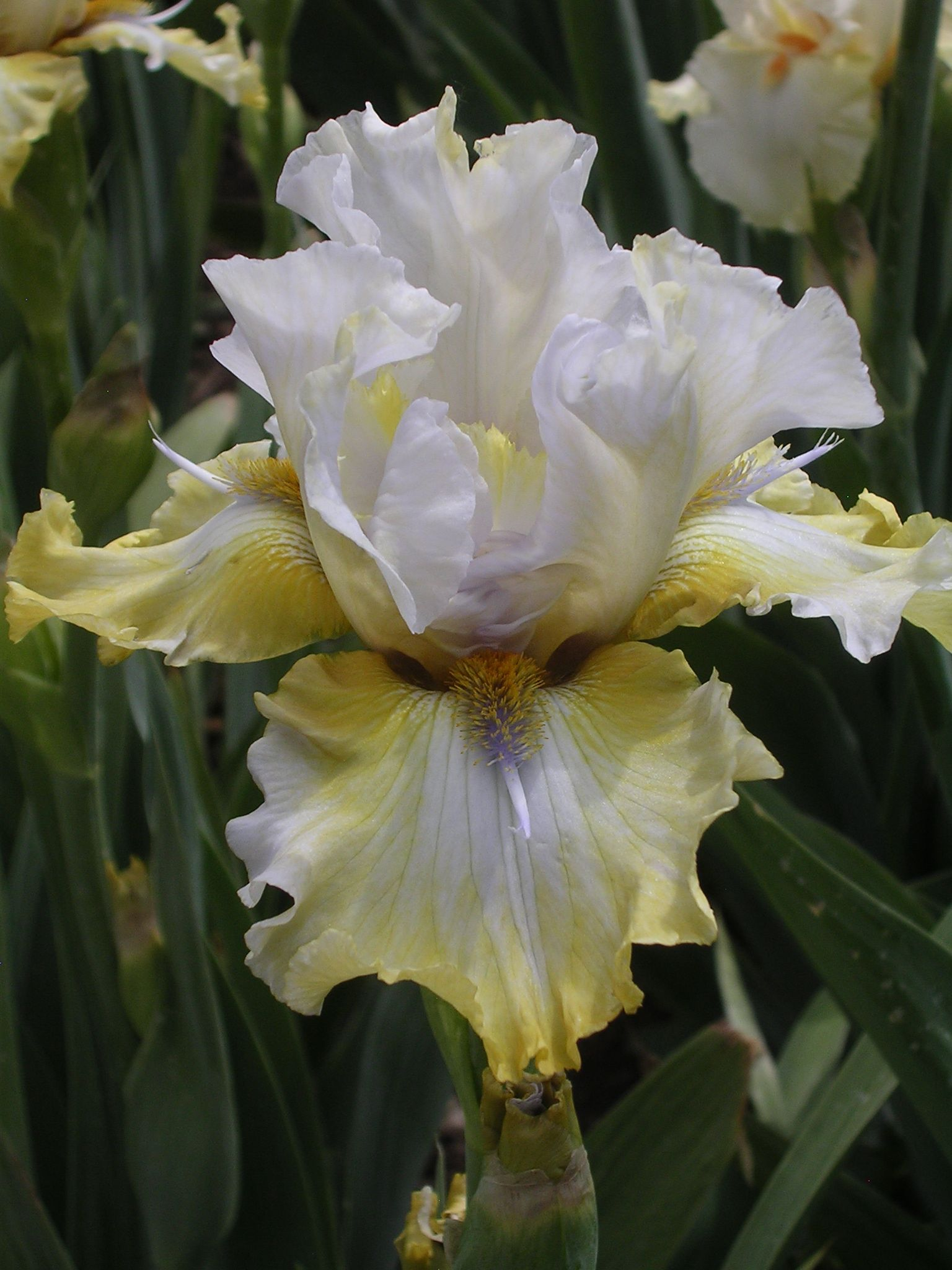 Tb Iris Germanica Zippity Do Dah Van Liere 2008 Flowers