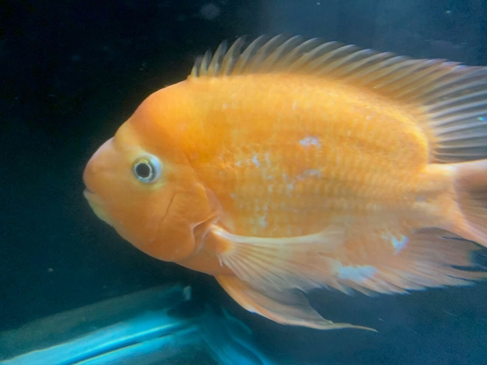 King Kong Parrot 9 In Length 34 50 One Day Shipping In 2020 Cichlids Fish Pet Pets