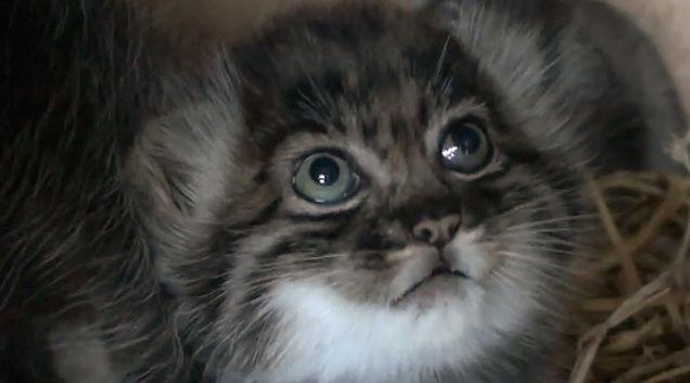 Bug Eyed Beauties Pallas Kittens At 5 6 Weeks Small Wild Cats Pallas S Cat Kittens