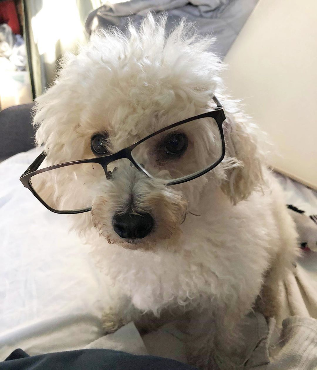 I'm a smart girl! My papa took this picture and was so excited saying I was supe -      I'm a smart girl! My papa took this picture and was so excited saying I was super cute! . . . . #poodlesofinstagram #poodle #whitepoodle #dogwearingglasses #crookedglasses #glasses #cutedog #smartdog #cute #dogsofinstagram #dogs #miniaturepoodle     Best Picture For  Dog's clothes  For Your Taste     You are looking for something, and it is going to tell you exactly what you are looking for, and you didn't f
