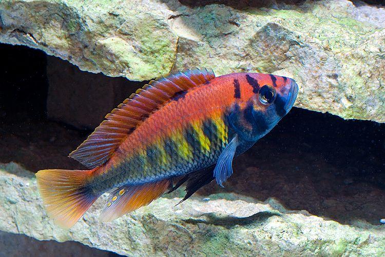 Pundamilia Nyererei African Cichlid Aquarium Cichlid Aquarium Cichlid Fish