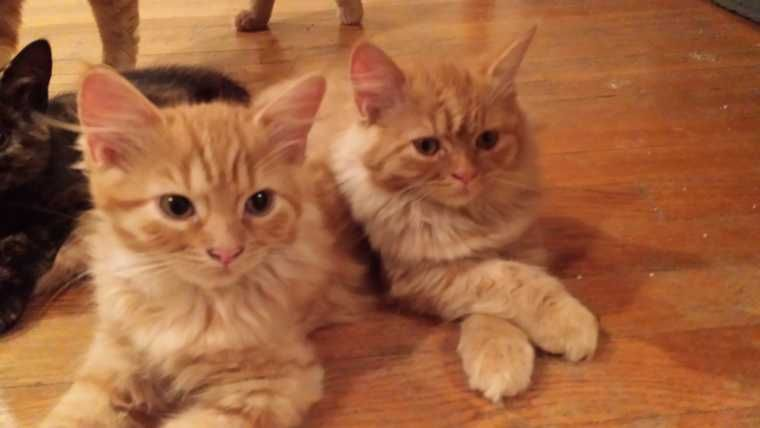 Orange Tabby Kittens For Sale In Ma Check More At Http Best Wow Guide Info Orange Tabby Kittens For Sale In Tabby Kitten Orange Tabby Kittens For Sale Tabby