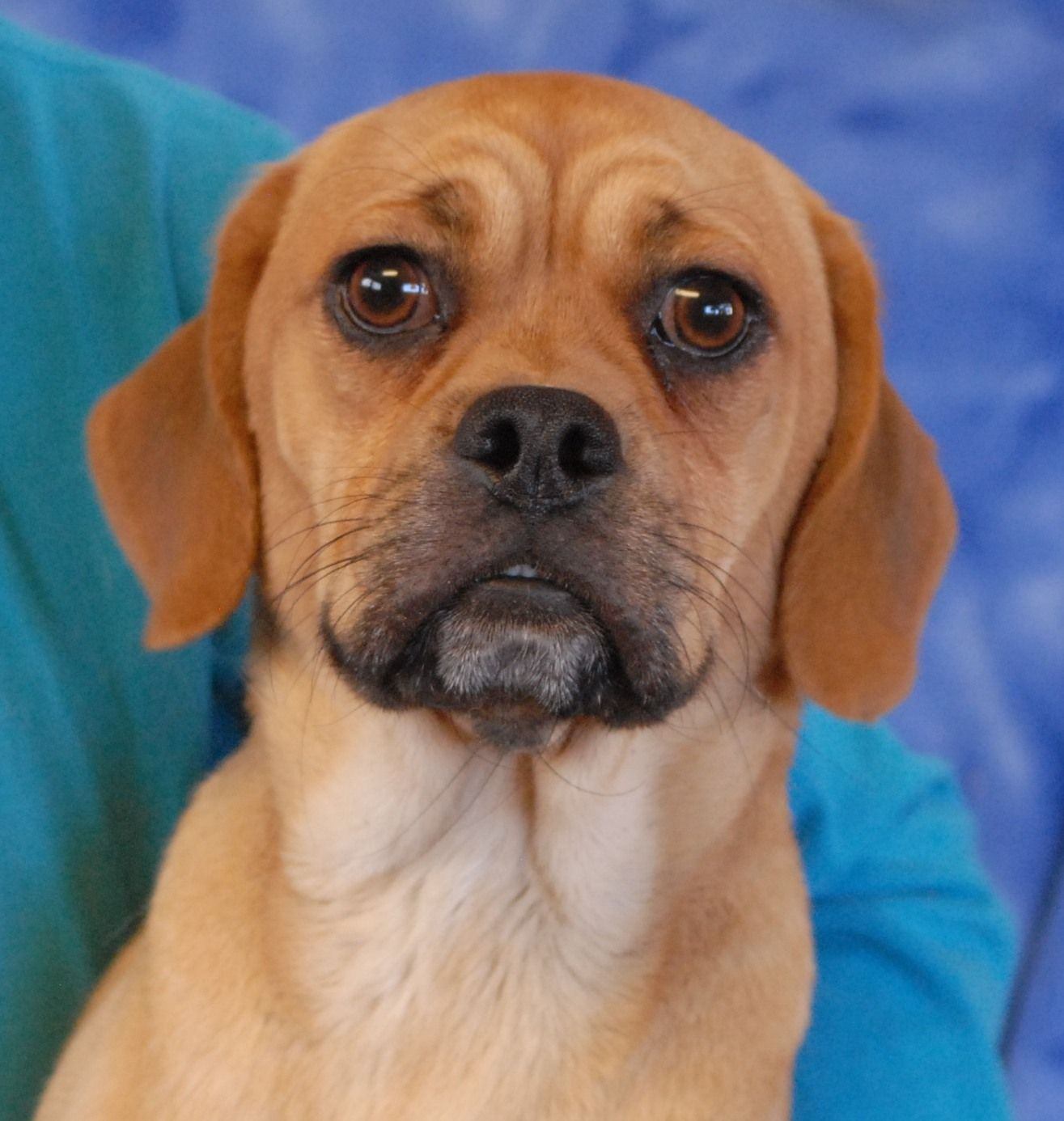 Muttley Is A Good Looking Very Well Behaved Young Puggle Pug