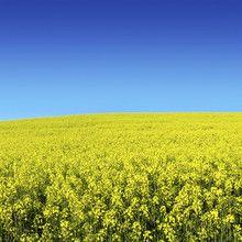 Fototapet - Canola Field
