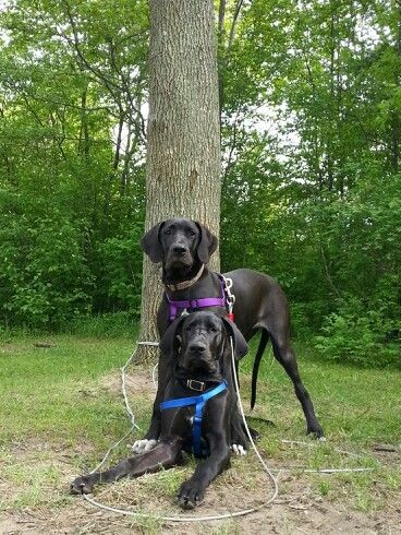 Great Dane 6 Months Camping Great Dane Dogs Great Dane