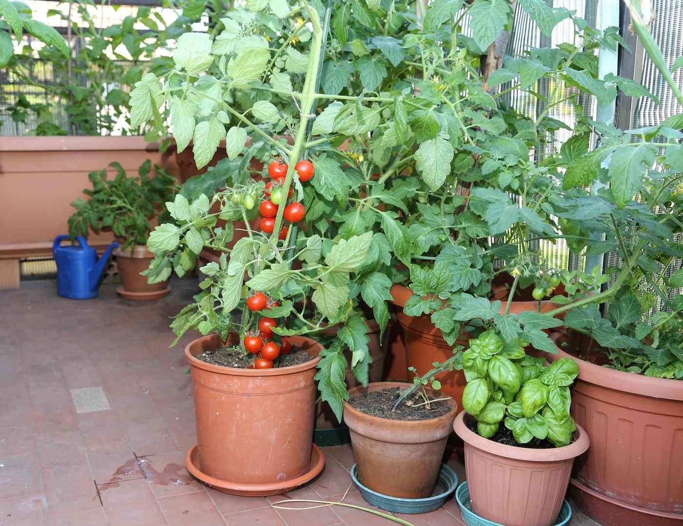Faire Pousser Tomates En Pot how to grow vegetables on a balcony | herbe et basilic