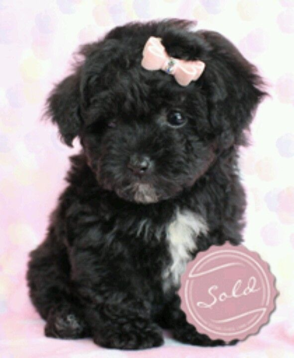 Too cute! (With images) Poodle puppy, Poodle puppies for