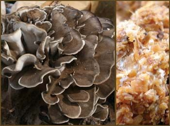 Field And Forest - Maitake - (Grifola frondosa) Sawdust