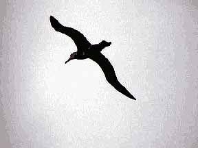 Albatross Bird Tattoo Meaning