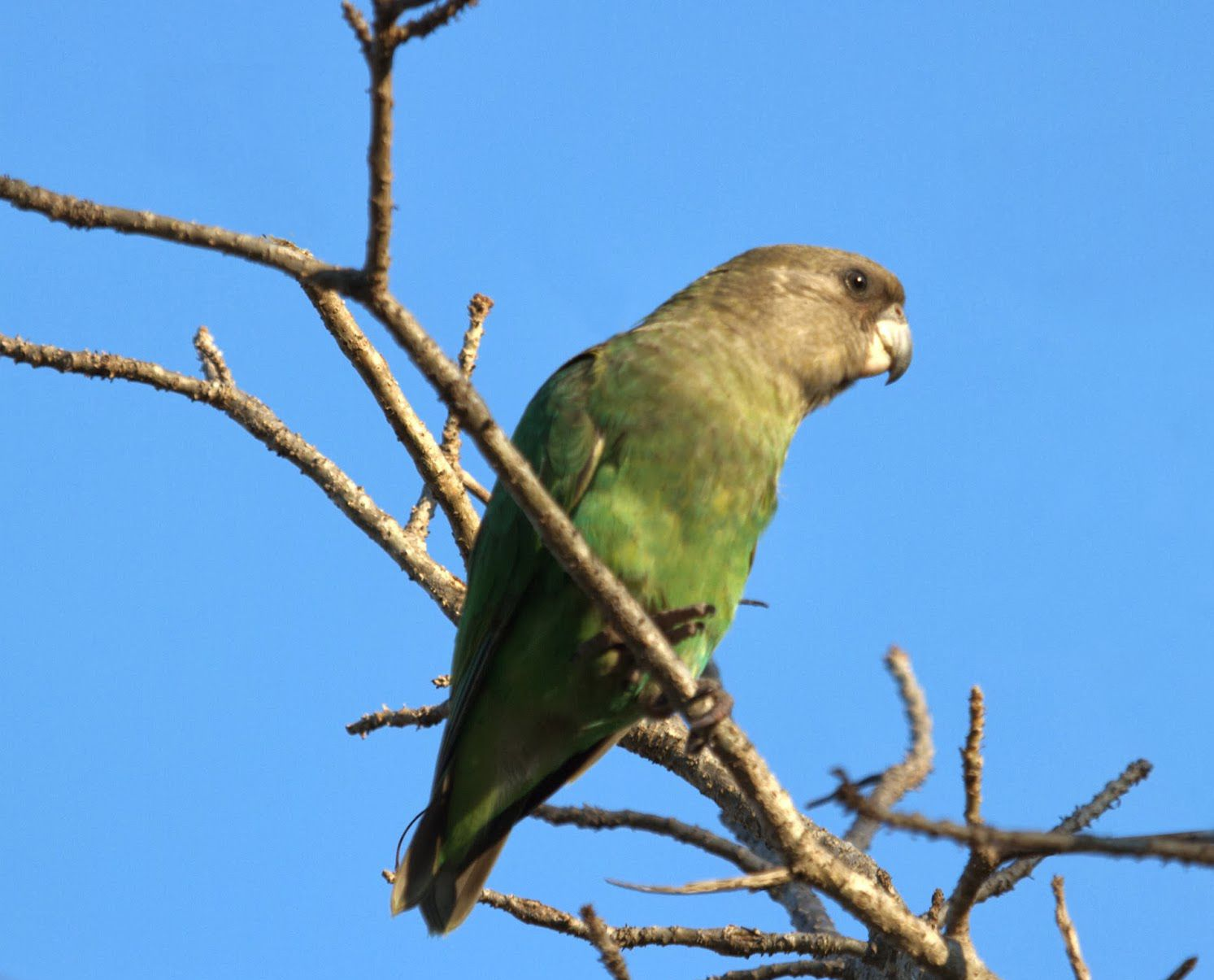 Brown headed Parrots are usually found in pairs and small groups, and seem to…