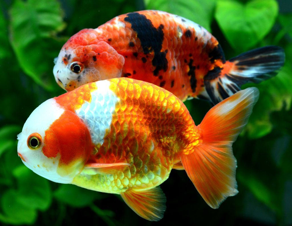 Ranchu Goldfish, Beautiful fish, Japanese goldfish