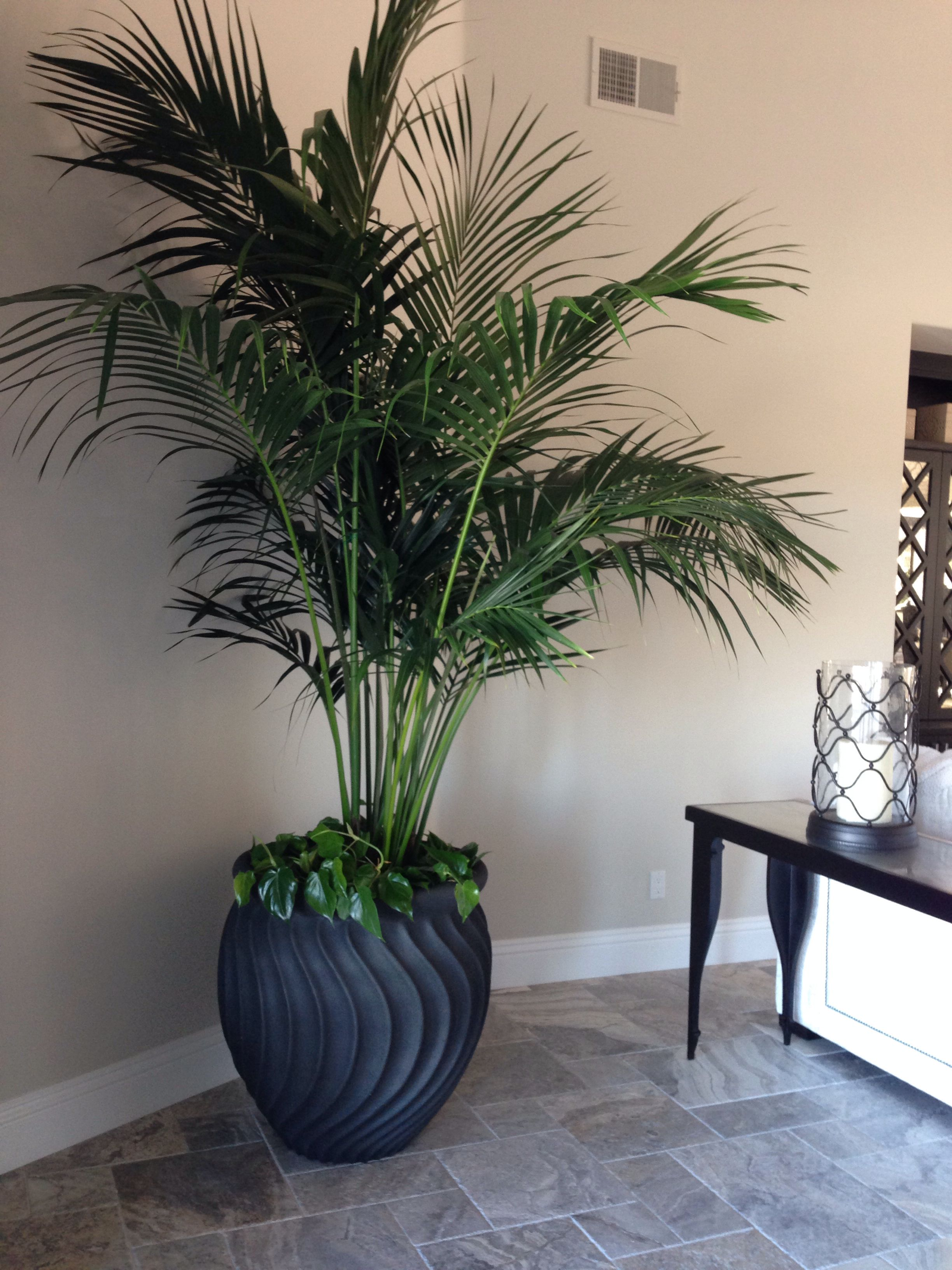 Kentia Palm In Perhaps A Old Tuscan Pot For The