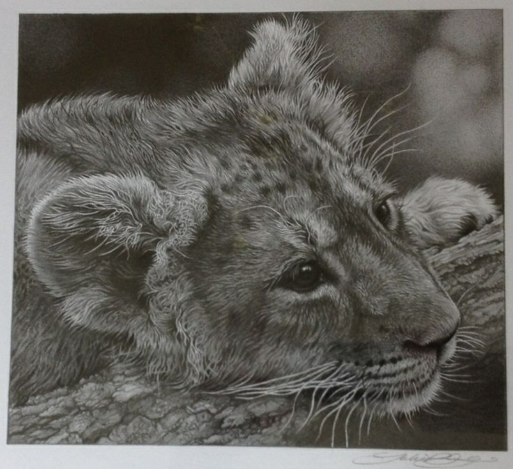 Lion cub drawing by julie rhodes