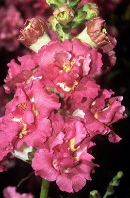 Rhs Horticultural Plants Database Website Snapdragon Double Azalea Pink Snaps Snapdragon Flowers Plants Snapdragon Flowers Garden