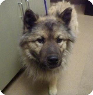 Apple Valley Ca Keeshond Chow Chow Mix Meet Sherman 129583 A