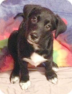 Cincinnati Oh Labrador Retriever Mix Meet Mittens A Puppy For Adoption Puppy Adoption Labrador Retriever Mix Labrador Retriever