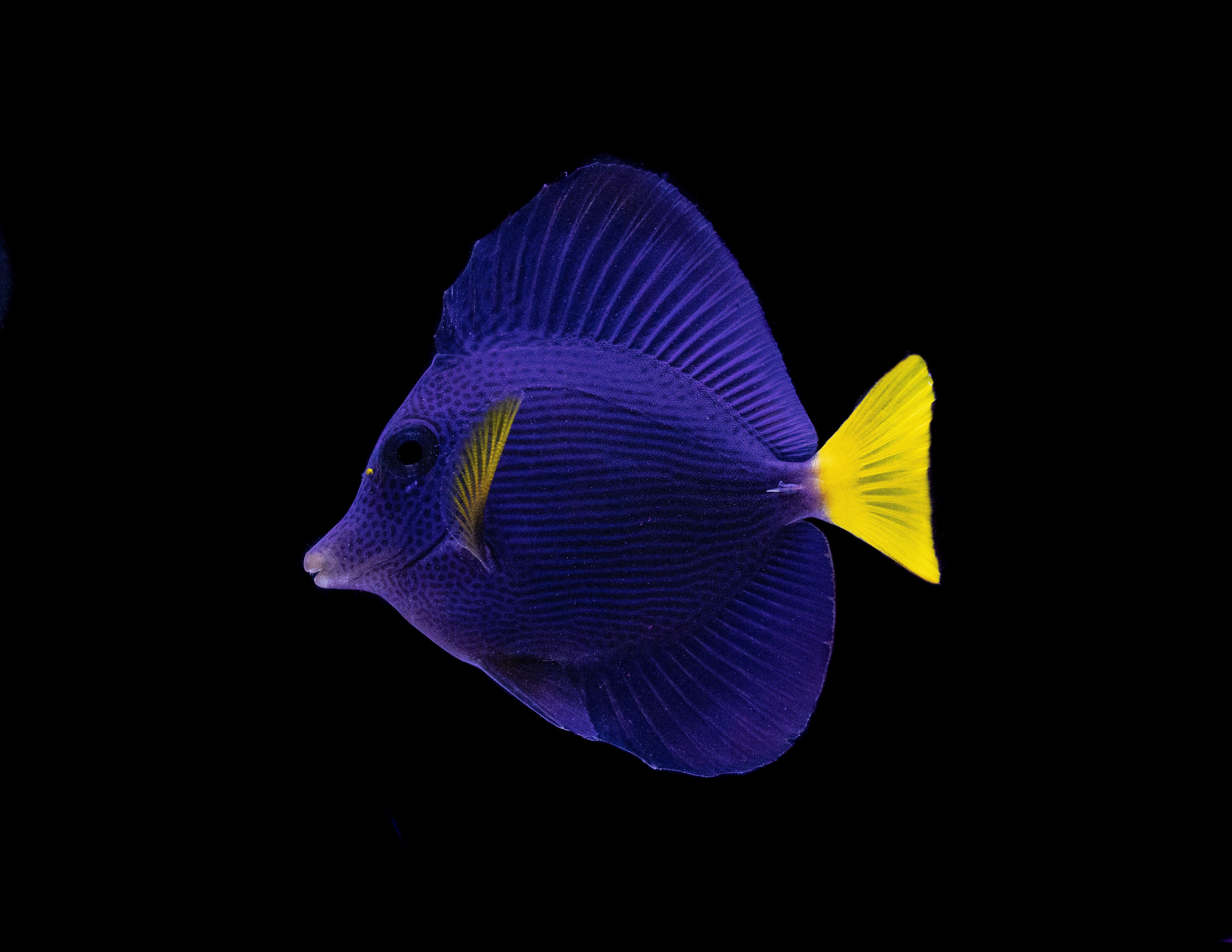Purple Tang In 2020 Reef Tank Fish Pet Aquascape
