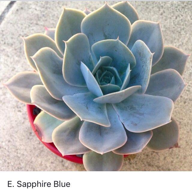 Echeveria sapphire blue