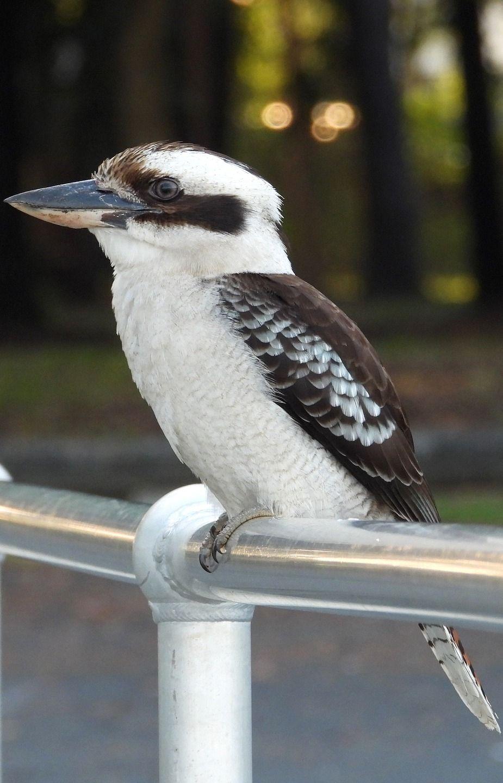 Amazing facts about a kookaburra Birds, Pretty birds