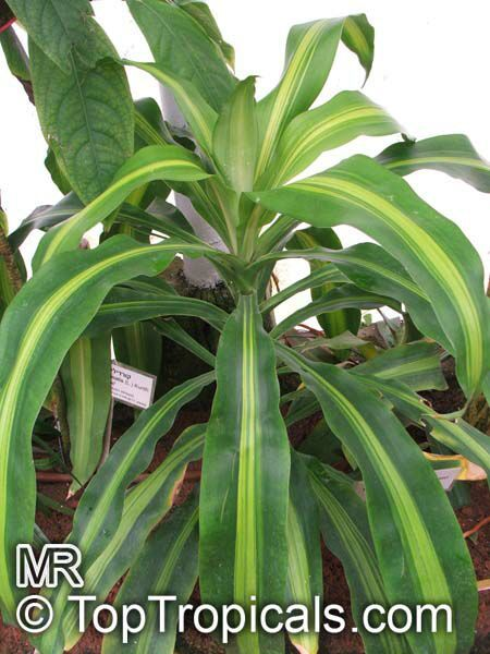 indoor tropical plant identification celebrity life style house plants encyclopedia