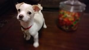 Adopt Biscuit On Chihuahua Dogs Animal Rescue Shelters Dogs