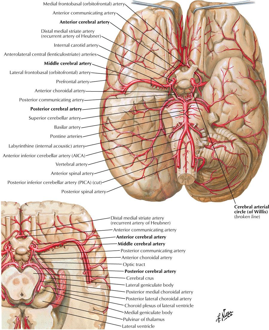 Cerebral arteries | Neuroanatomy | Pinterest | Medicina, Anatomía y ...