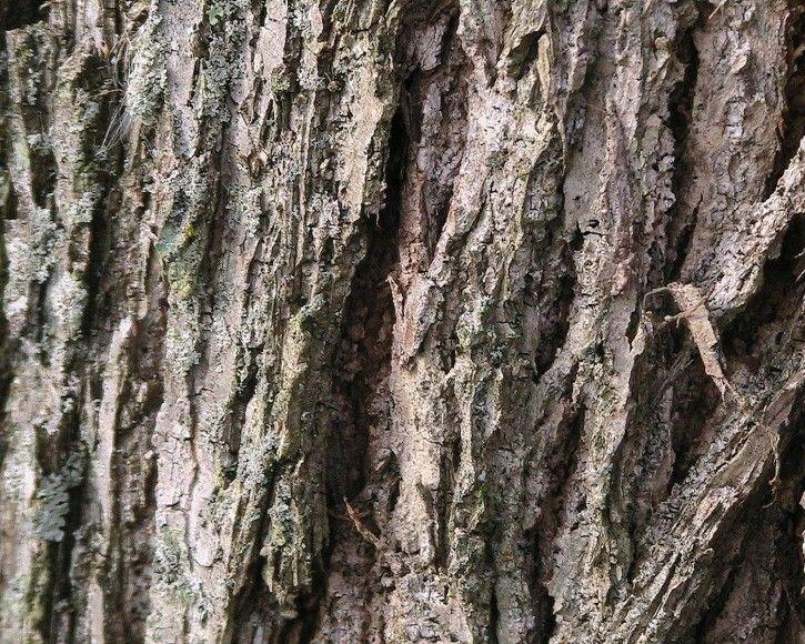 Images Tree Bark Walnut Tree Bark Public Domain Image Picture In Gallery Tree Bark Tree Tree Bark Nature Tree