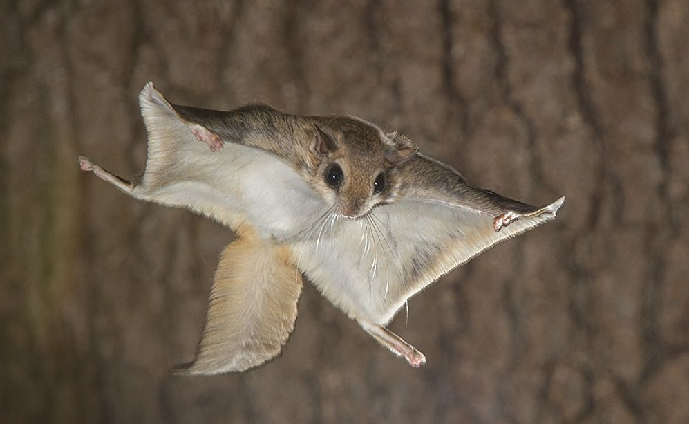 What You Need To Know As Owner Of Flying Squirrel Pet Flying