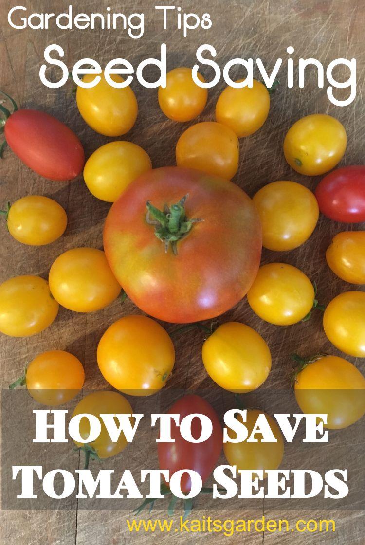 Seed Saving How To Save Tomato Seeds Tomato Seeds Organic