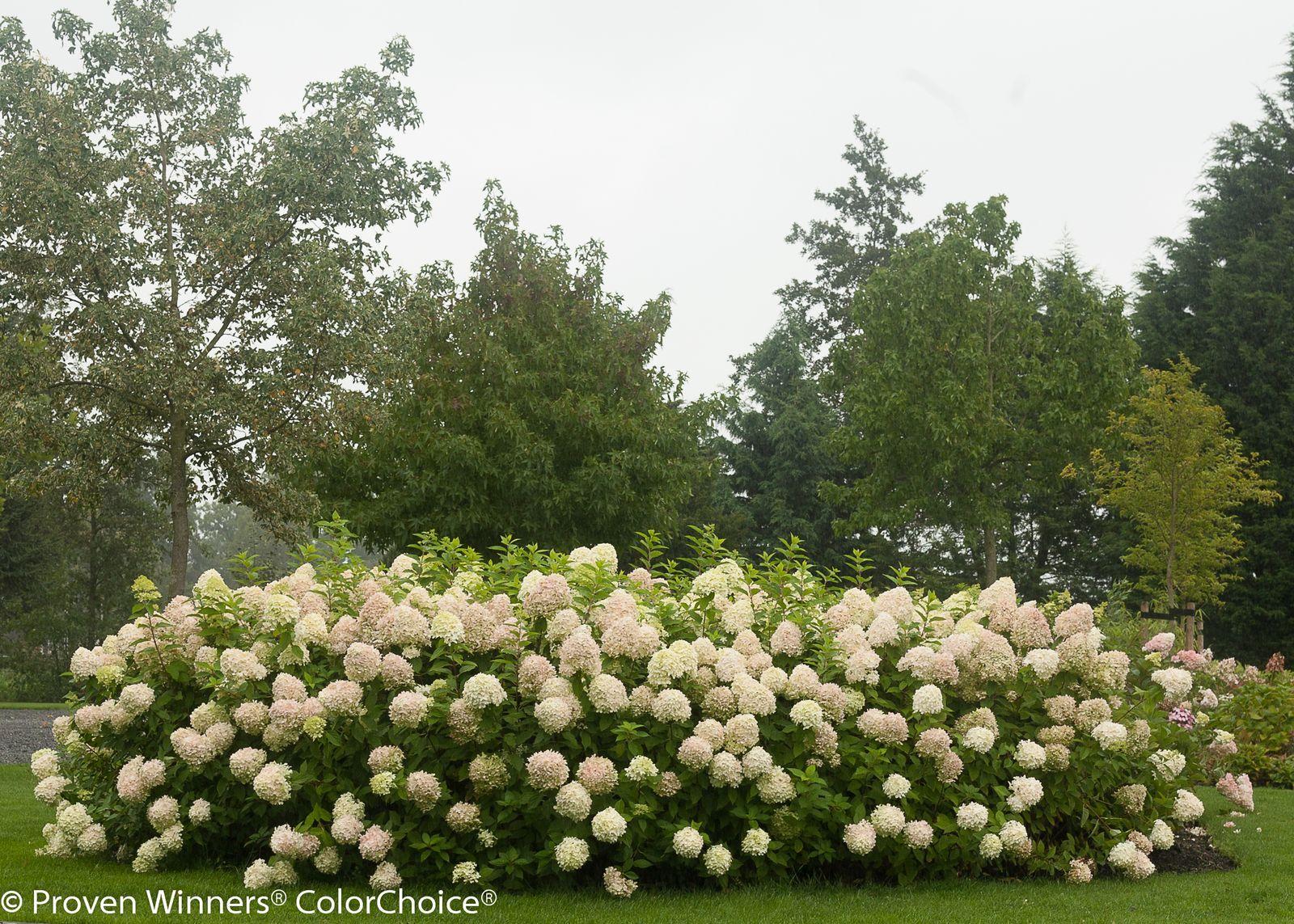 How To Get More Hydrangea Flowers In 2020 Hydrangea Landscaping Hydrangea Garden Hydrangea Shade