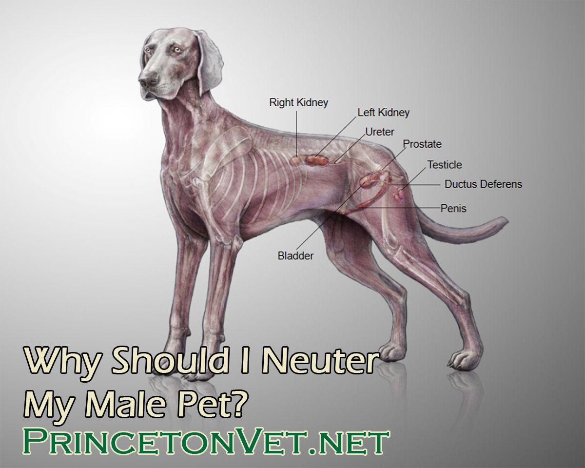 Why Should I Neuter My Male Pet Pets Neuter Cat Health