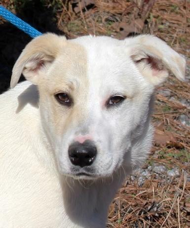 Adopt Lilo V sweet girl Lower fee on Dogs, Labrador