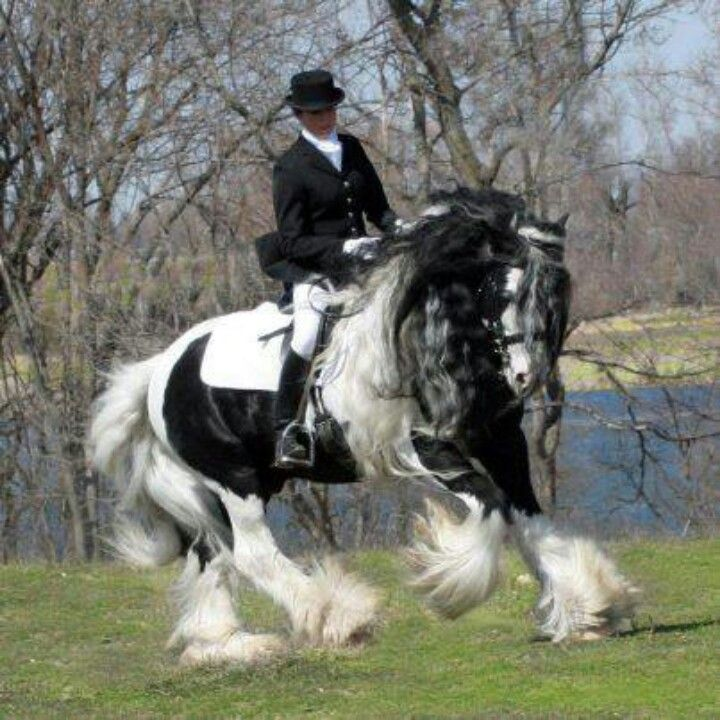 Gypsy Vanner! Lake Ridge British Sterling