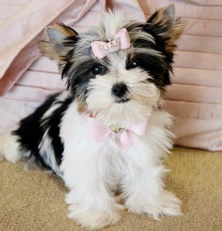 Tiny Biewer Yorkie Princess Morkie Puppies Biewer Yorkie Puppies