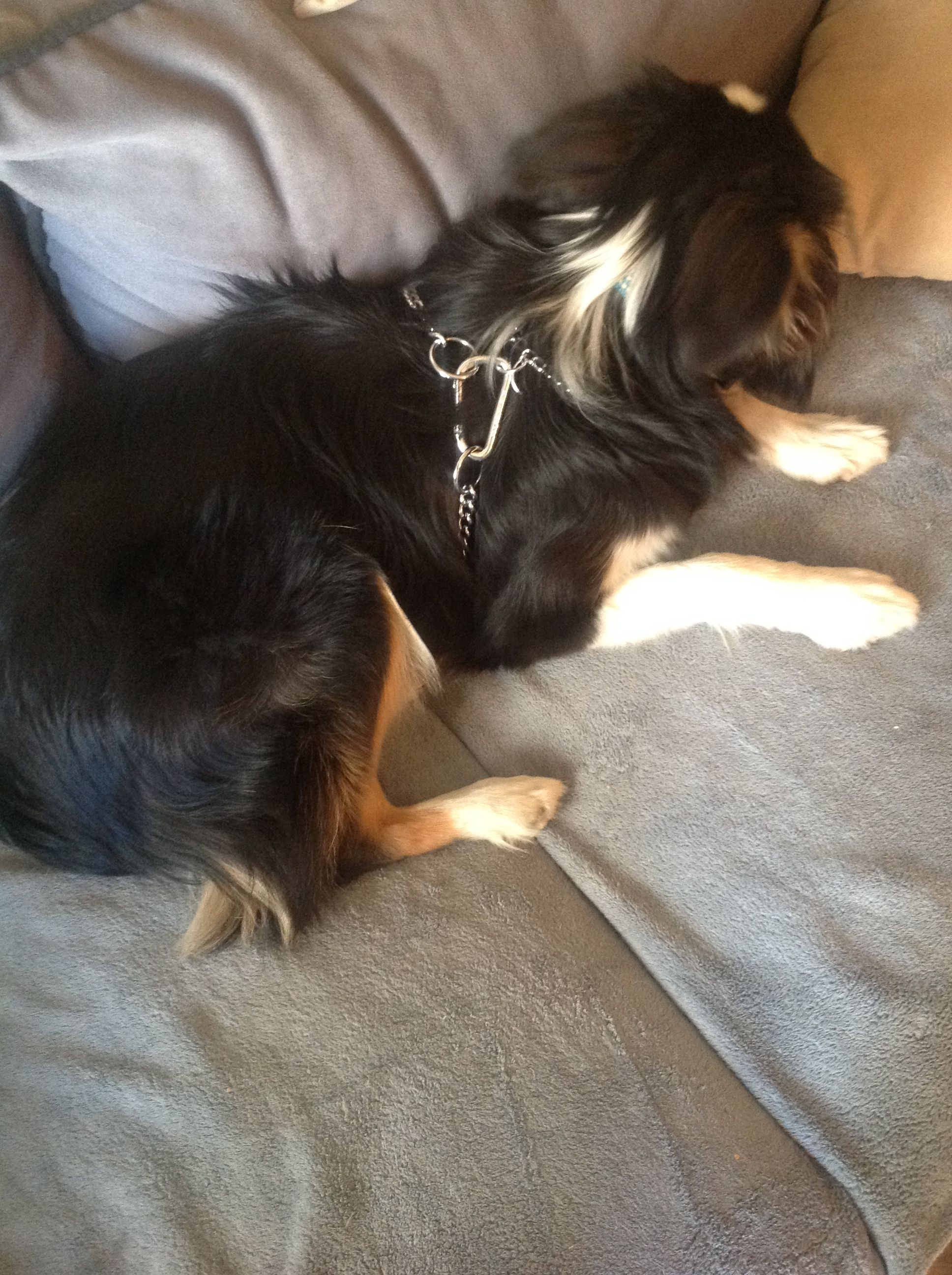 A Chew Proof Harness Made From Dog Choker Chains And Carrabeaners