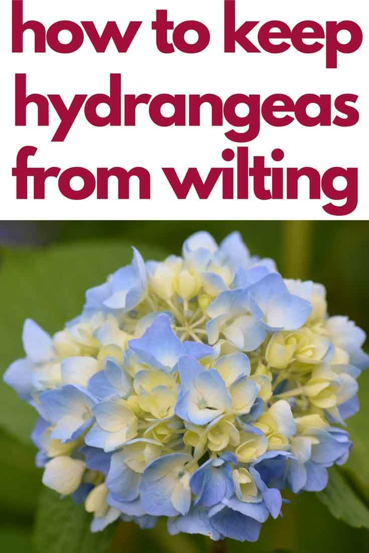Pin By Melissa Thehappierhomemaker On Gardening And Outdoor Projects Planting Hydrangeas Hydrangea Hydrangea Potted