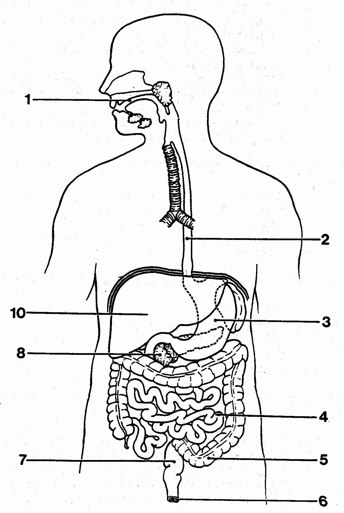 Unlabeled Digestive System Diagram . Unlabeled Digestive ...