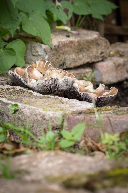 Essbare Pilze Im Garten Zuchten So Legt Man Ein Pilz Beet Im Garten An Pilze Im Garten Pilze Zuchten Essbare Pilze