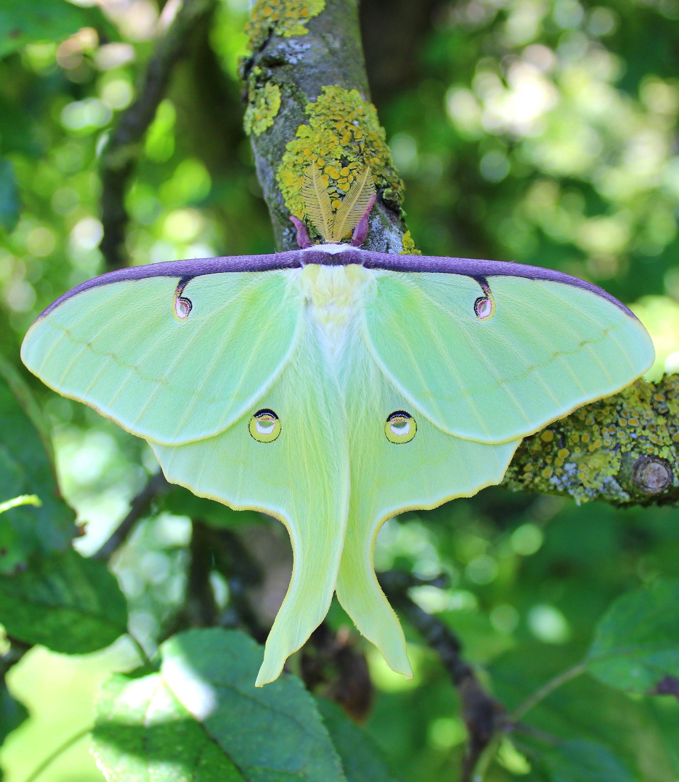 Actias Luna Luna Moth Saturniidae Lepidoptera Schone Schmetterlinge Schmetterling Insekten
